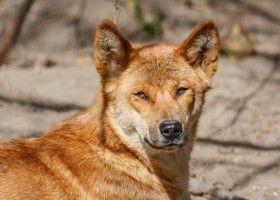 Новогвинейська співаюча собака: утримання та догляд