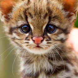 Новий вид кішки виявлений в бразилии