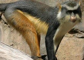 Мавпа мона: поради по утриманню будинку