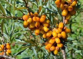 Обліпиха: особливості посадки і вирощування
