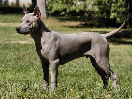 Огляд рідкісних порід собак