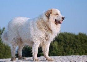 Опис великий піренейським гірським собаки