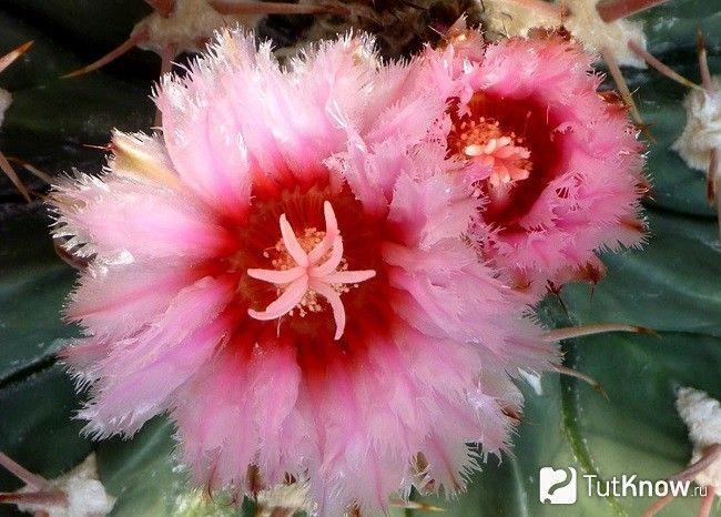 цвітіння ферокактус