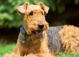 Опис породи ердельтер`єр і характер собаки