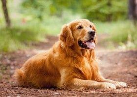 Опис породи собак золотистий ретривер