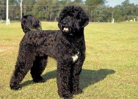 Опис португальської водяний собаки