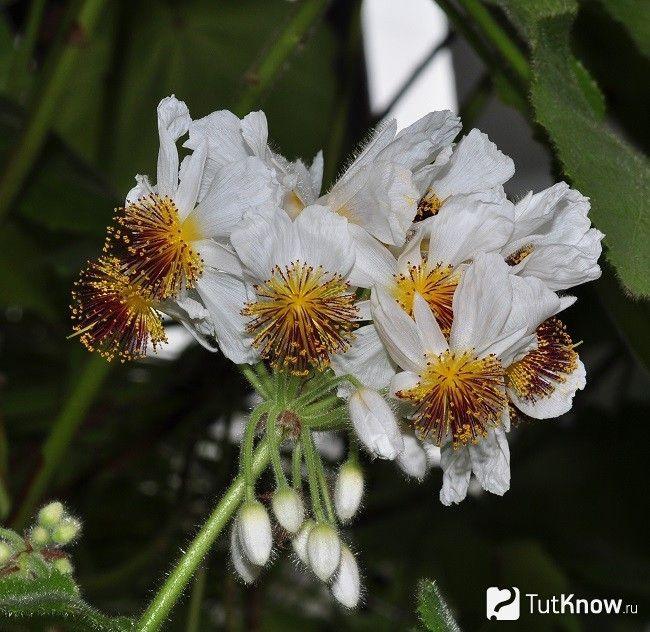 квіти спарманніі
