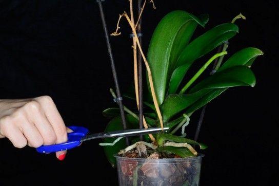 Що робити коли орхідея відцвіли?