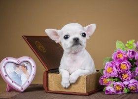Особливості догляду за собакою чихуахуа