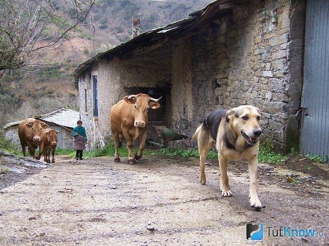 Кан де паллейро і корова