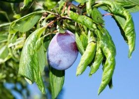 Особливості вирощування сливи в присадибному господарстві
