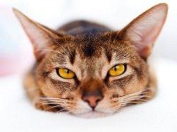 Панлейкопенія у кішок