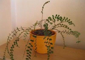 Папороть пеллея: вирощування в домашніх умовах