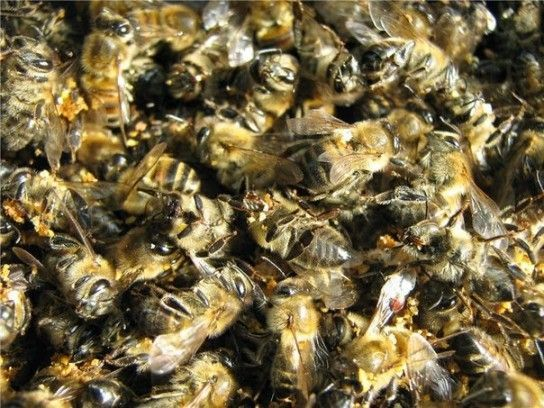 Бджолиний підмор: користь і шкода