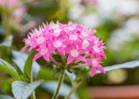 Пентас: вирощування в домашніх умовах