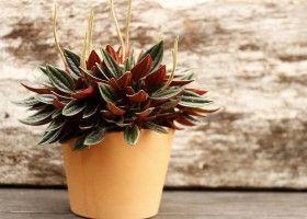 Пеперомия (peperomia) - листяна, декоративна рослина