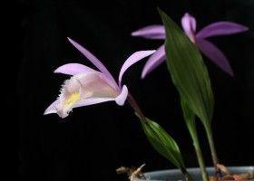 Плейони (pleione) - павич орхідея