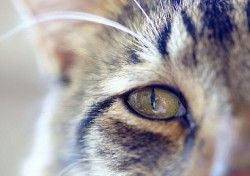 Чому сльозяться очі у кішок