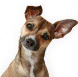 Чому собаки нахиляють голову, коли ми з ними розмовляємо?