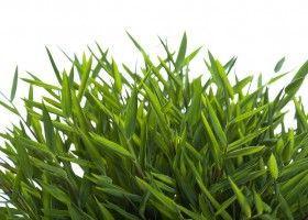Погонатерум - кімнатний очерет: вирощування і догляд