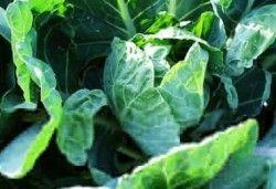 Корисні властивості капусти