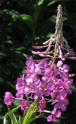 Корисні властивості кіпрейних меду