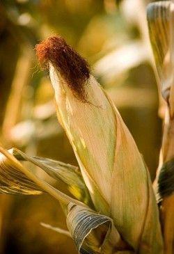 Корисні властивості кукурудзи