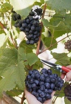 Корисні властивості винограду