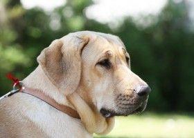 Порода брохольмер: опис собаки, зовнішній стандарт