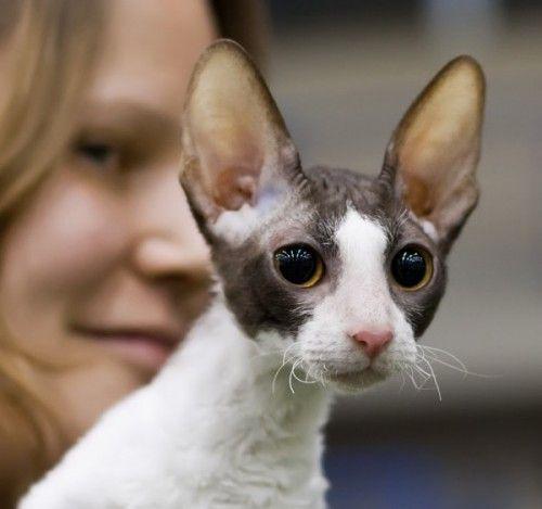 Порода кішок корніш рекс
