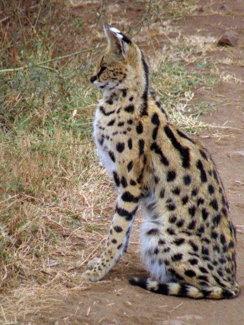 Порода кішок савани