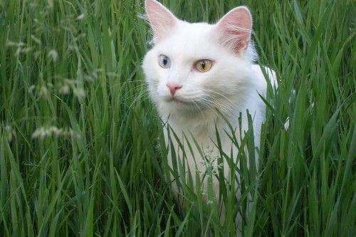 Порода кішок турецький ван