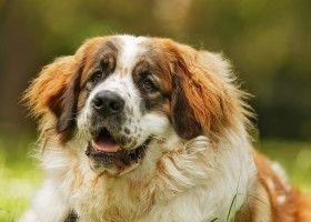 Порода московська сторожова собака: особливості змісту