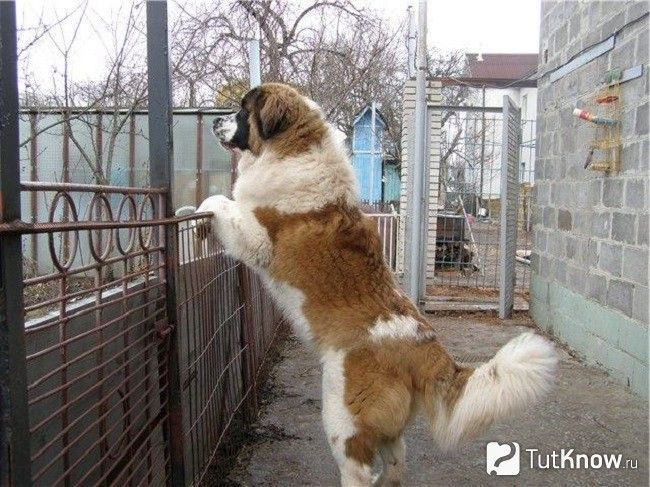 Московська сторожова собака на задніх лапах