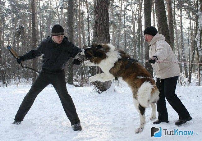 Дресирування московської сторожової собаки