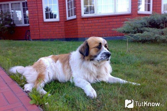 Московська сторожова собака на траві