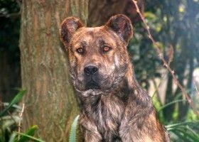 Порода собак кау ді філа ді вересня мігель