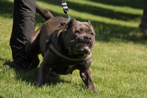 Породи бійцівських собак