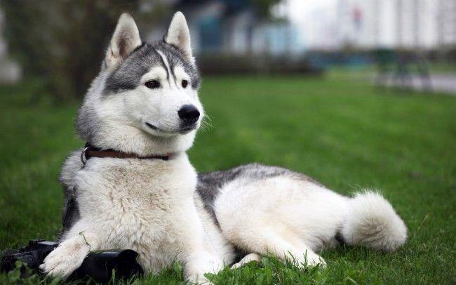 Породи мисливських собак - лайка