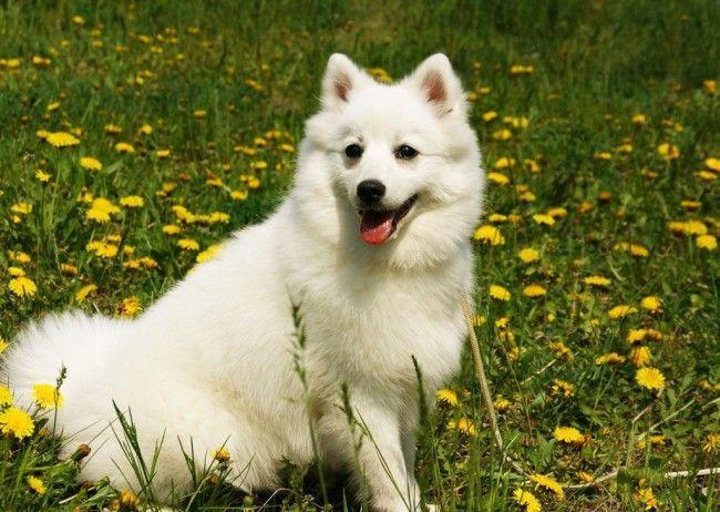 Породи мисливських собак - Японський шпіц