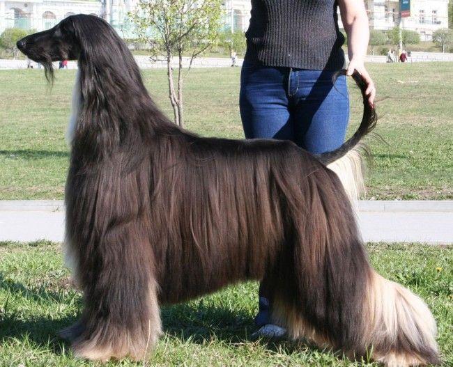 Шерсть афганського хорта собаки