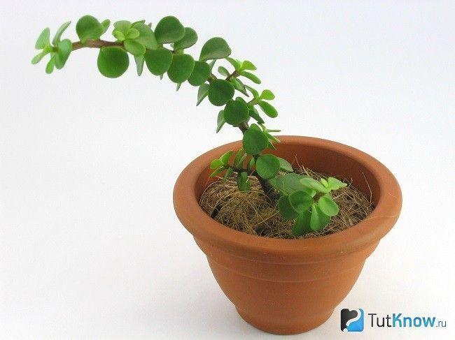 Молодий росток портулакарія
