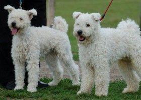 Призначення і дресура угорської вівчарської собаки пуми