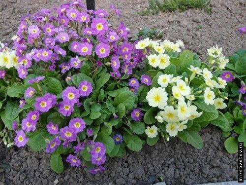 Примули, вирощування і догляд