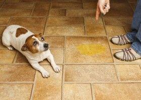 Привчати собаку не гадити будинку