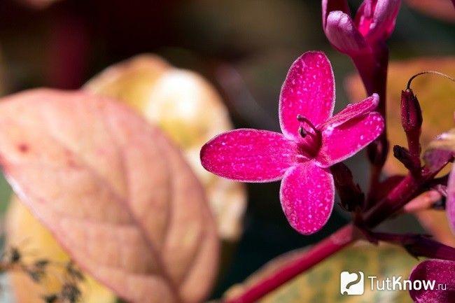 Псевдерантемум цвіте