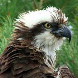Птах-довгожитель і мати-героїня з шотландії