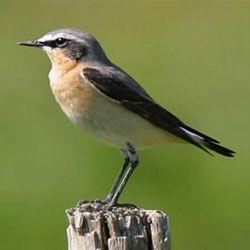 Відстань, яку долають перелітні птахи, вражає вчених
