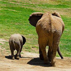 Розгаданий секрет вагітності слонів