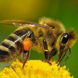 Розгадана загадка масового вимирання бджіл